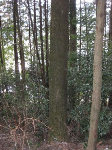 実生,樅の木