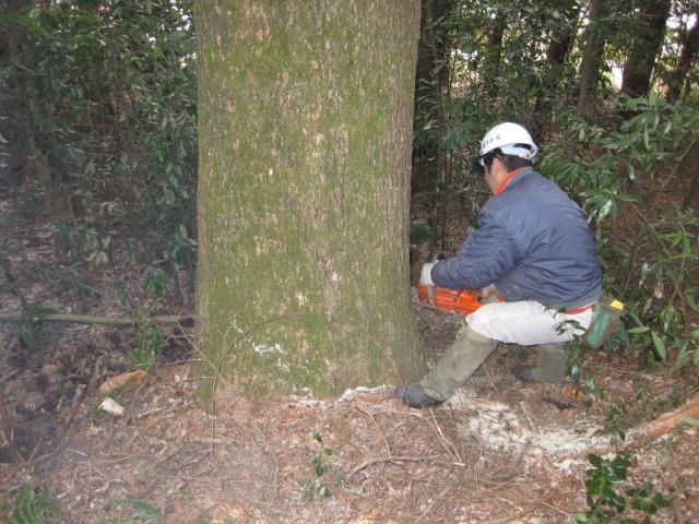 実生、もみの木