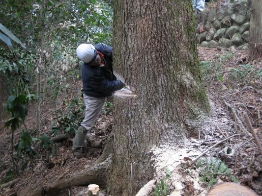 新月伐採,受け,樅の木