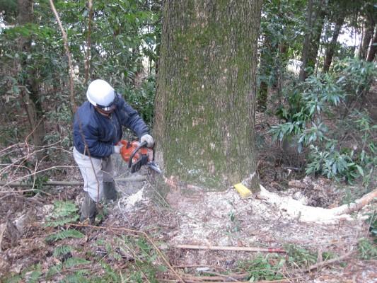 新月伐採,追い,樅の木