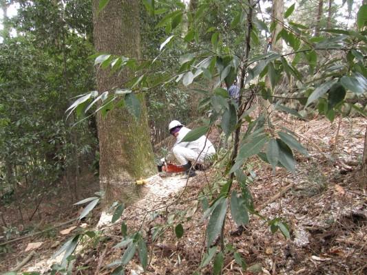 樅の木新月伐採