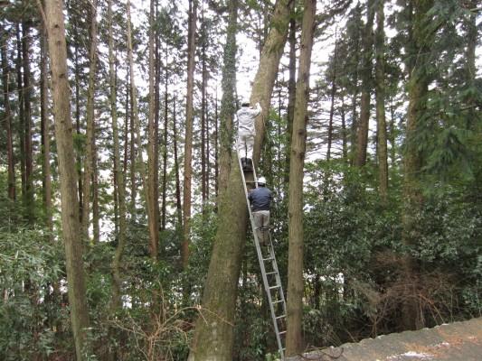 新月伐採,樅の木