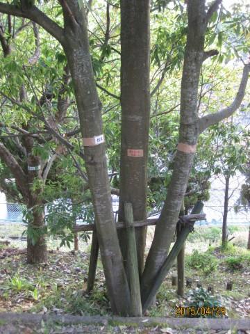 庭木の伐採,樫