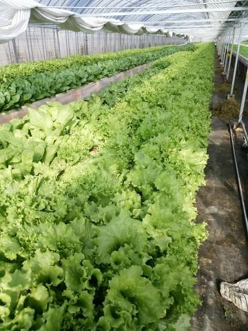 水耕栽培,ビニールハウス,無農薬野菜,作業所あかり